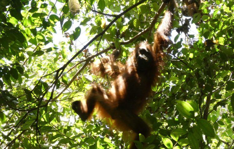 Bornéo (1/3) : à la recherche des derniers orangs-outans sauvages